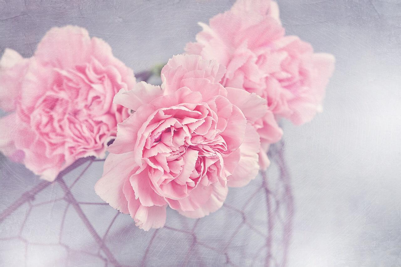 Carnation-image
